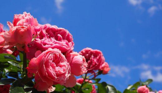 久屋大通庭園フラリエのローズフェスタへ薔薇を見に行こう!