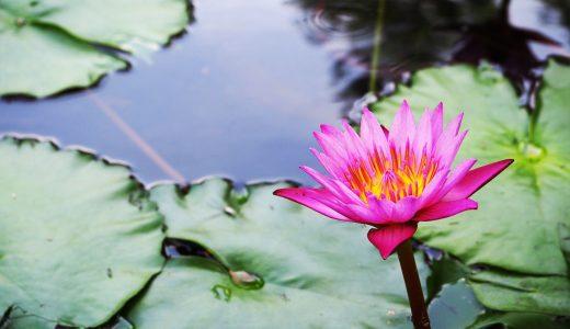 熱帯スイレンフェスタ 久屋大通庭園フラリエにて開催!