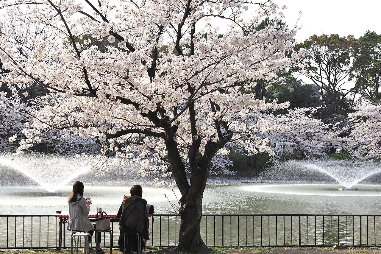 名城公園の桜