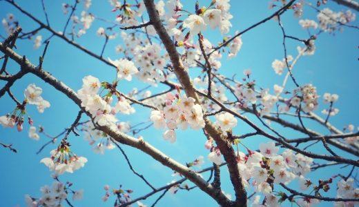 名古屋に咲き乱れる桜。お花見スポットまとめ。
