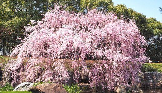 春の白鳥庭園でお花見。白と紅、美しき「しだれ桜」を楽しみに。