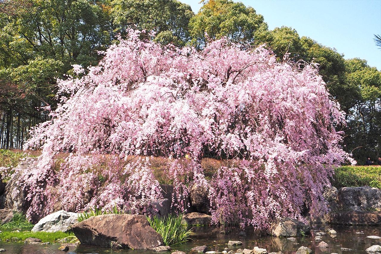 白鳥庭園の桜
