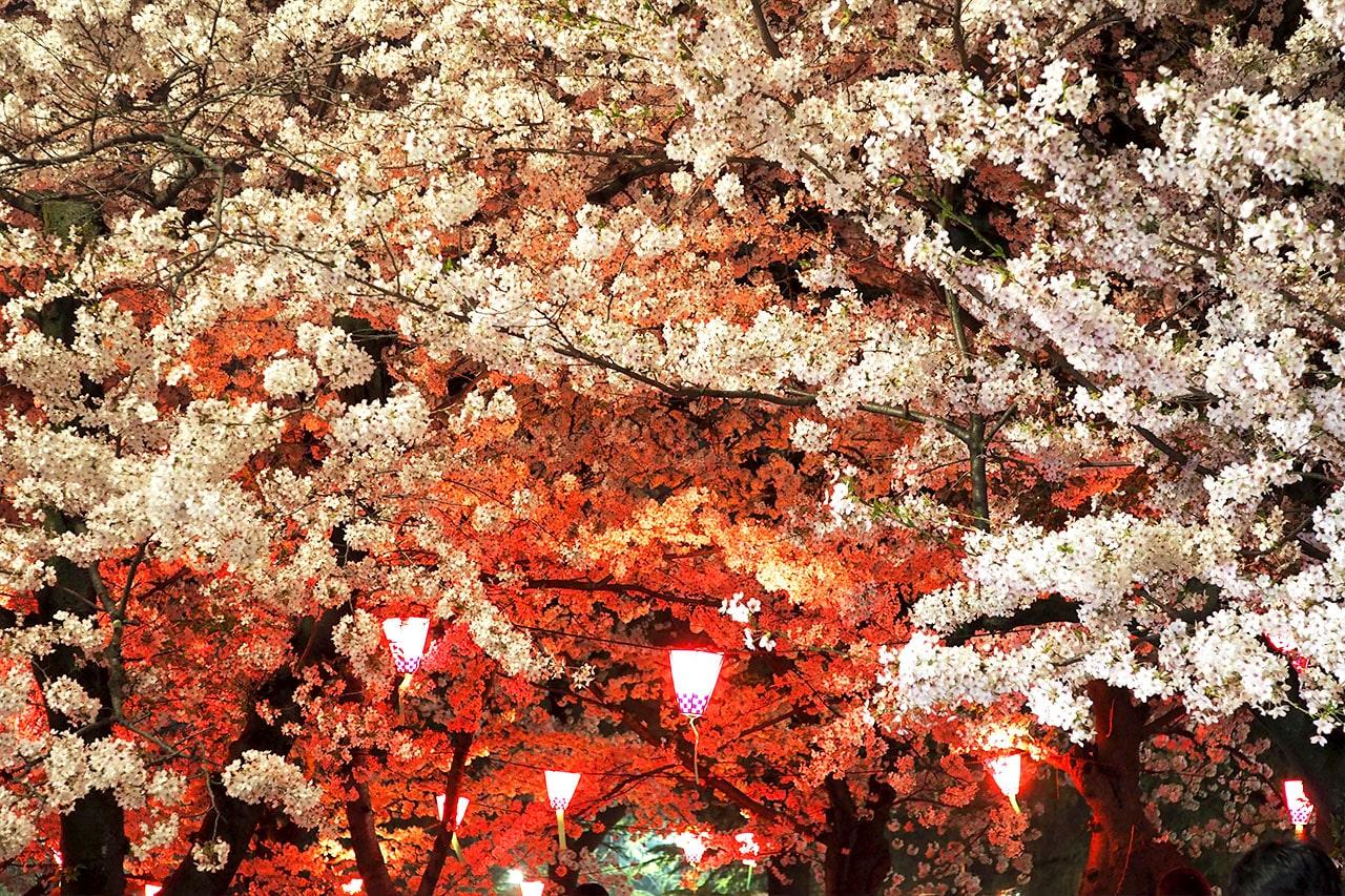 鶴舞公園は夜になると桜のライトアップが始まる!