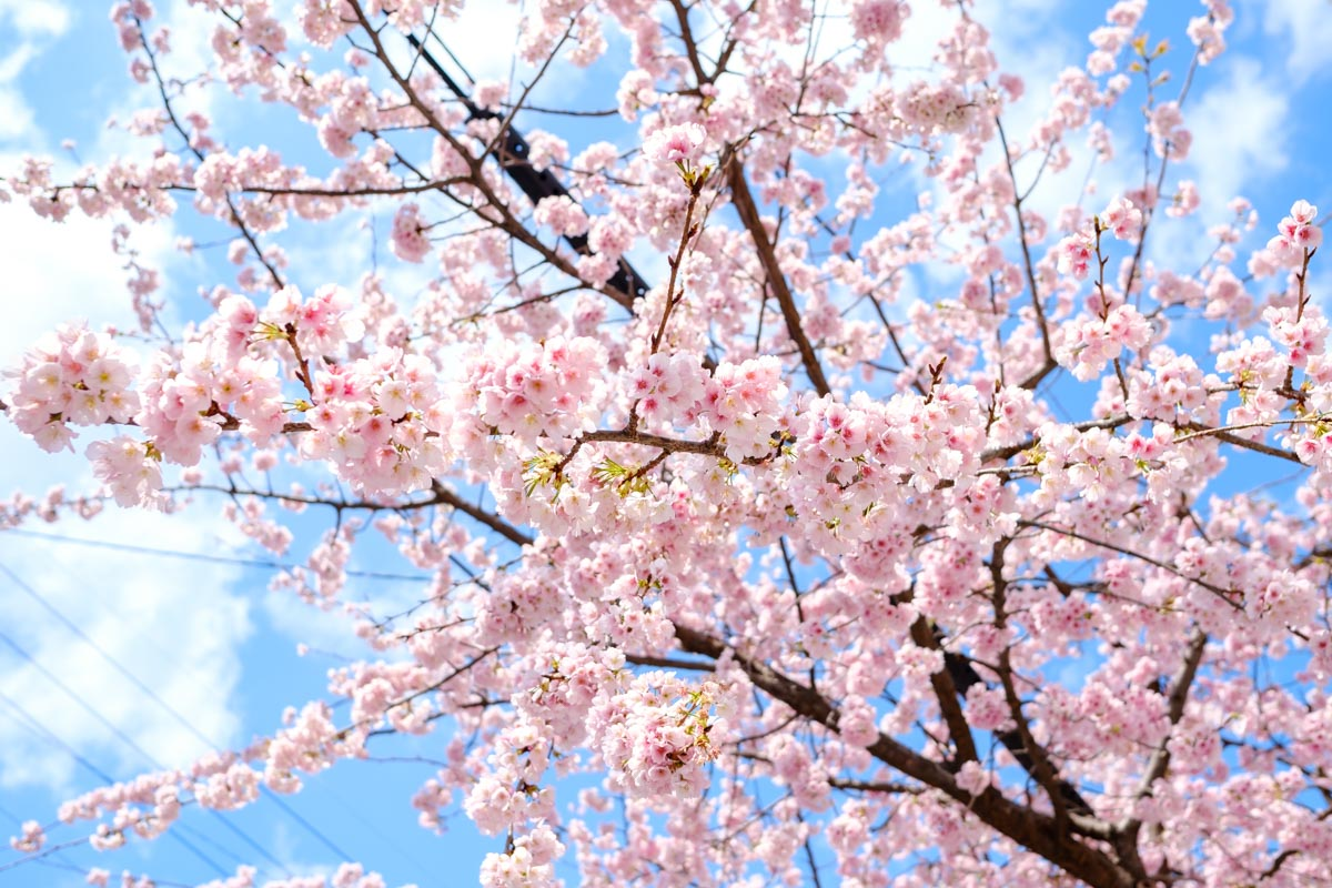 オオカンザクラの並木道の桜
