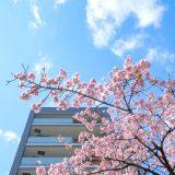 オオカンザクラの並木道。見頃を迎えた桜。