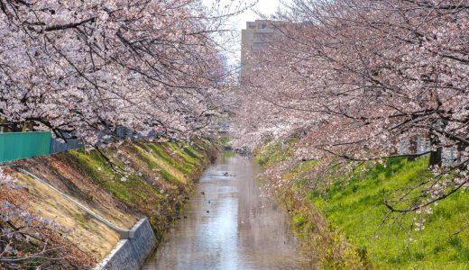 御用水跡街園の桜。黒川沿いを歩きながらお花見