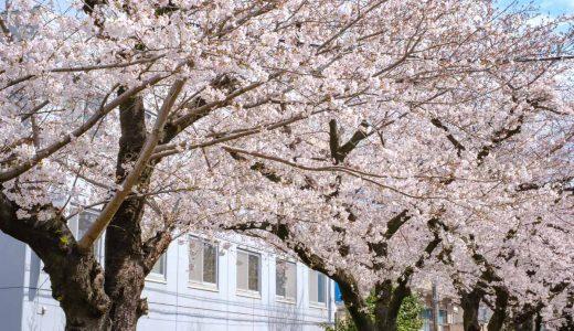 今池駅近く「水道みち緑道」の桜並木へ