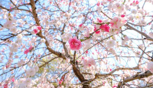 大須エリアで桜めぐり
