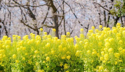 春の庄内緑地公園。桜、菜の花、ユキヤナギを鑑賞。