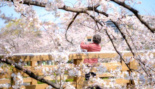 山崎川の桜は圧巻の景色! 期間限定で夜のライトアップも