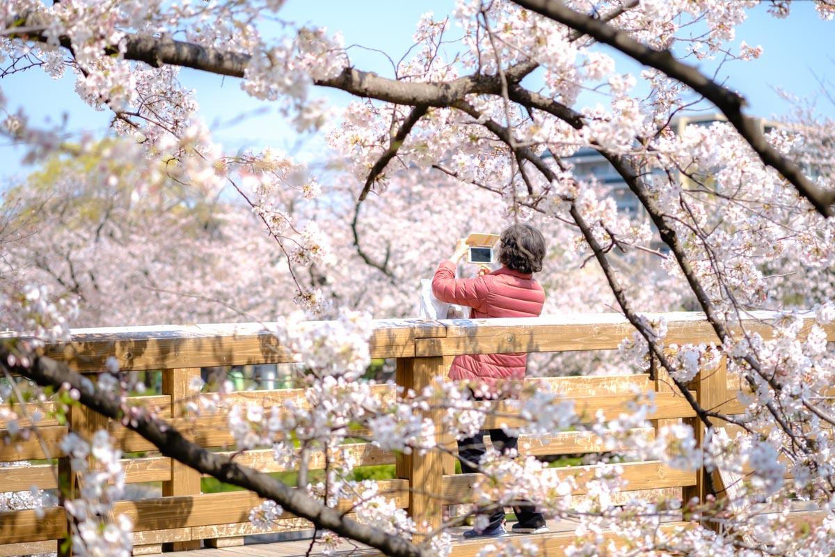 山崎川と鼎小橋と桜