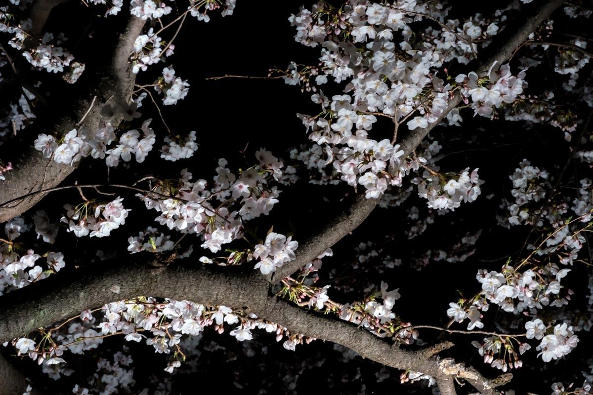 水墨画のような夜桜