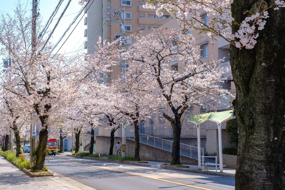 汐路桜ロードの桜