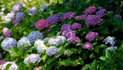 【茶屋ヶ坂公園】見頃の紫陽花を堪能してきました