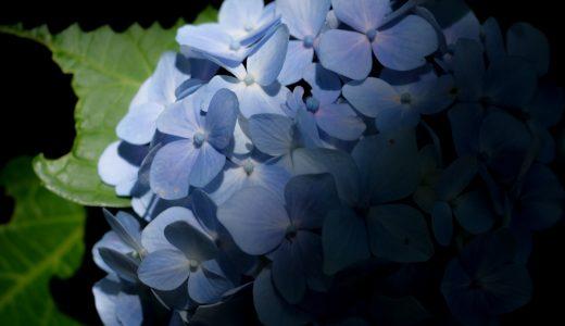 【白川公園】紫陽花が咲いていました