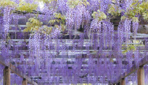 藤の花を名古屋で観賞。名城公園・藤の回廊フォトギャラリー